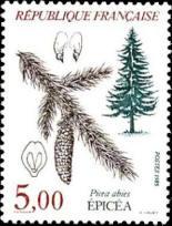 Épicéa (Picea abies)