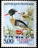 Harle Huppé (Mergus serrator)